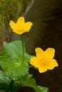 Free Marsh Marigold Royalty Free Stock Photo - 4024335