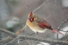 Free Female Cardinal Perched Royalty Free Stock Photography - 4020507