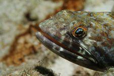 Free Lizardfish Royalty Free Stock Photography - 4020687
