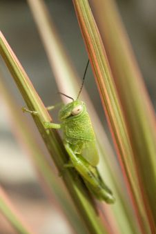Free Grasshopper Stock Images - 4021444