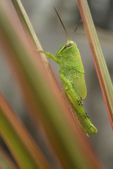 Free Grasshopper Stock Photography - 4021472