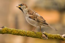 House Sparrow On A Stick Royalty Free Stock Photography