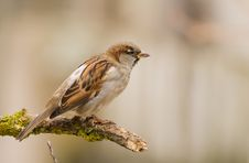 House Sparrow On A Stick Royalty Free Stock Image