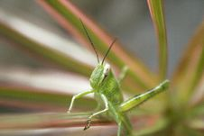 Free Grasshopper Royalty Free Stock Photos - 4021508