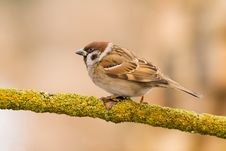 Tree Sparrow (aka Passer Montanus) Stock Photography
