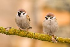 Free Couple Tree Sparrows On A Stick Stock Image - 4021791