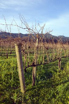 Napa Valley Vineyard Royalty Free Stock Photo