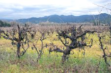 Free Vineyard With Grapes In Winter Royalty Free Stock Photography - 4022457