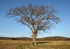 Lonely Oak Tree Against A Clear Blue Winter Sky Royalty Free Stock Photography