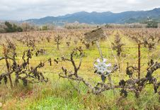 Free Vineyard With Grapes In Winter Royalty Free Stock Photo - 4022475