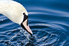 Free Swan Head Close Up Royalty Free Stock Images - 4023229