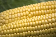 Two Fresh Corns Royalty Free Stock Photography