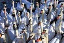 Swans Gather For Feeding Stock Photos