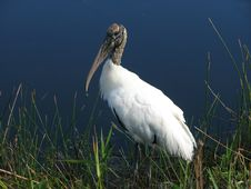Free Wood Stork Stock Images - 4024084