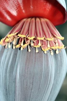 Free Banana Flower Stock Images - 4024284