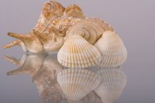 Conch Of Sea Shell Stock Images