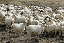 Free Group Of Sheeps Stock Photo - 4026040