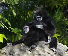 Free Gibbons Grooming Stock Images - 4026374