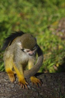 Free Squirrel Monkey Royalty Free Stock Photos - 4026388