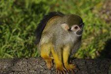 Free Squirrel Monkey Royalty Free Stock Photography - 4026397