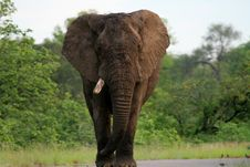 Free One Tusker Royalty Free Stock Photos - 4026868
