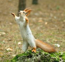 Free Squirrel ( Sciurus ) Stock Image - 4028421