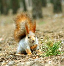 Free Squirrel ( Sciurus ) Royalty Free Stock Photos - 4028458