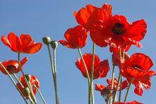 Free Poppies Stock Photo - 4028800
