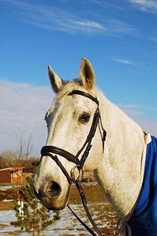 Free Grey Thoroughbred Horse Stock Image - 4029191
