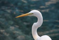 Free Great White Egret Royalty Free Stock Photos - 4029518