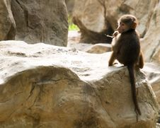 Free Juvenile Baboon Stock Images - 4029814
