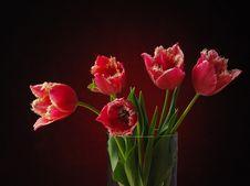 Free Tulips On The Dark Background. Stock Photo - 4029850
