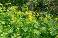 Free Celandine Blooms Stock Photography - 40267272