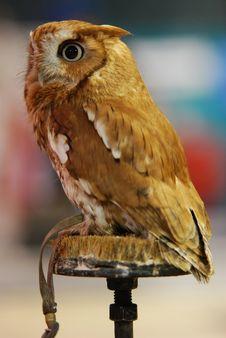 Eastern Screech Owl (Otus Asio) Stock Images