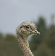 Free Ostrich Royalty Free Stock Images - 4031179