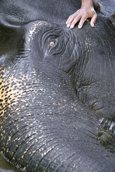 Elephant Preparing For A Wash Stock Photography