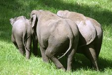 Small Herd Of Elephants Royalty Free Stock Photography