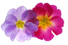 Free Primula Stock Photo - 4031850