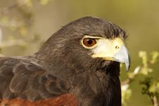 Free Harris  Hawk Stock Photography - 4031872