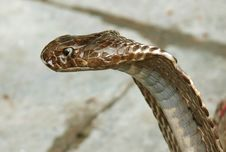 Free Closeup Of King Cobra Stock Image - 4032241