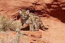 Free Mountain Lion Kitten Stock Photos - 4032273
