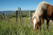 Grazing Comtois Draught Horse Royalty Free Stock Images