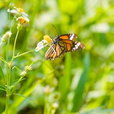 Free Common TIger Butterfly Stock Photos - 4034803
