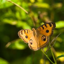 Free Peacock Pansy Butterfly Royalty Free Stock Photos - 4034818