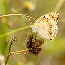 Free Butterfly On Thorny Fruits Royalty Free Stock Photography - 4034897
