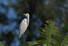 Free Little Egret Standing On The Tree Stock Photos - 4035273