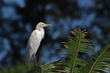 Free Little Egret Standing On The Tree Royalty Free Stock Image - 4035276