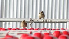 Free Two Sparrows Royalty Free Stock Photos - 4036468