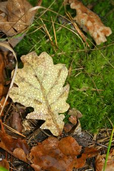 Free Oak Leaf  With The Dew On The Moss Royalty Free Stock Image - 4036506
