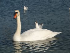 Free Swan And Gull Stock Photo - 4036560